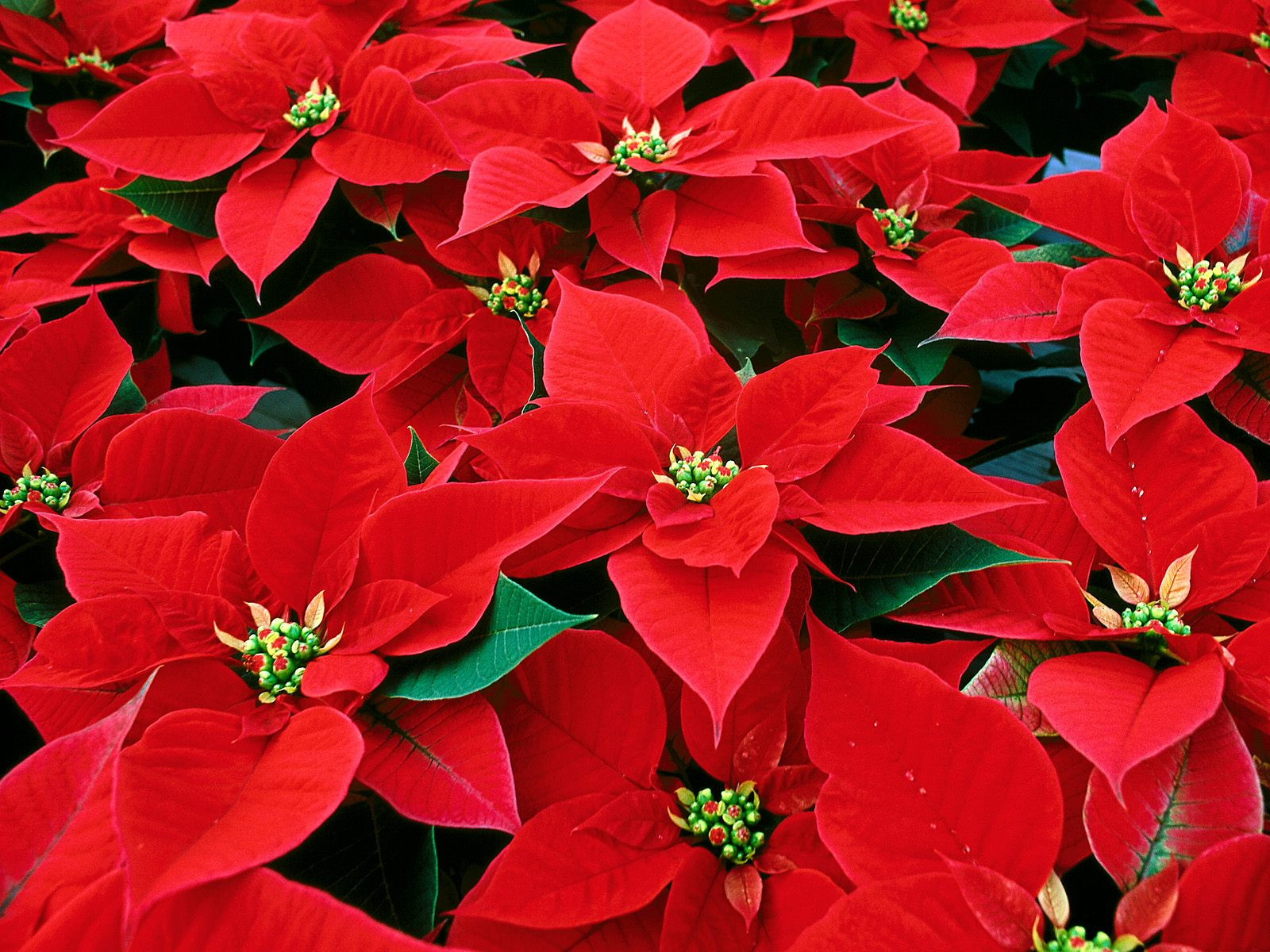 poinsettia conference fundraiser